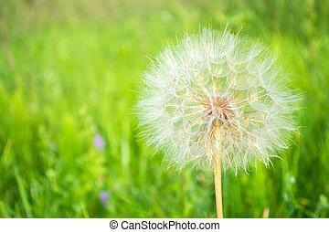 big bright fluffy dandelion on a green background, blowball....
