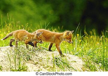 big brother fox