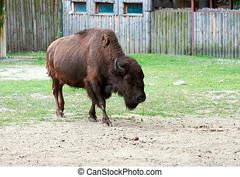 big brown aurochs walk on sandy glade