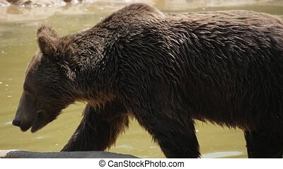Big brown bear is getting out of dirty pond waters in summer in slow motion