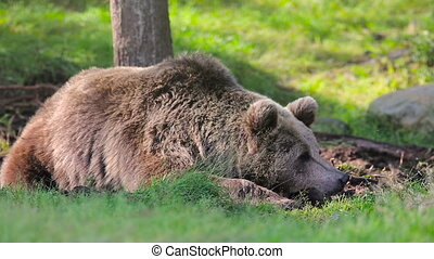 Big brown bear rests in the forest - Large brown bear...