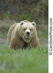 Big Brown Bear showing teeth. McNeil River Alaska. - Brown...