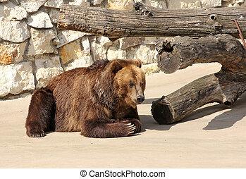 Big Brown Bear sits on a rock.