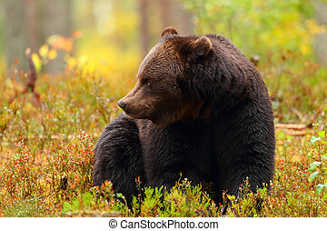 Big brown bear sitting looking at side in a forest