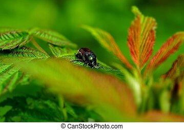 big brown beetle on a green leaf