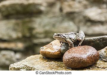 Big brown frog on a rock
