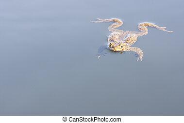 Big brown frog swim in water