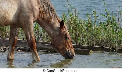 Big brown horse drinks water from a lake in summer in slo-mo
