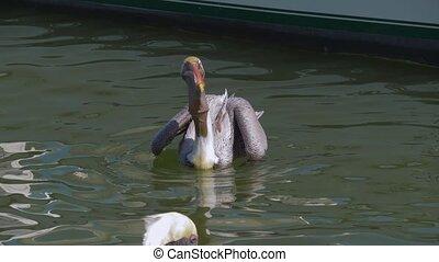 Big brown pelicans waiting for food. - Pelican in the water ...