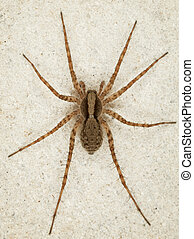 Big brown spider on wall