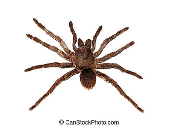 Big brown spider pamphobetus antinous close up, isolated