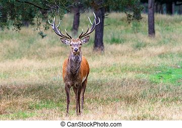 Big buck - Beautiful deer (Cervus elaphus) in national park...