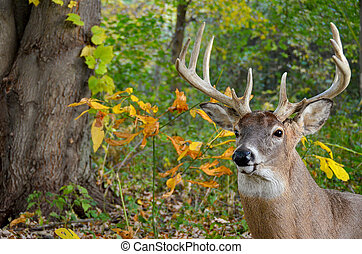big buck deer in woods
