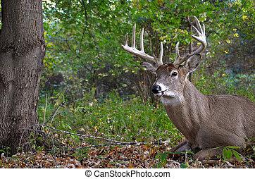 big buck in woods