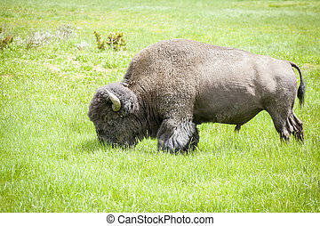 Big buffalo grazing in Yellowstone National Park, USA