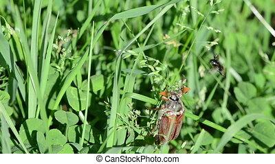 big bug in grass - big brown cockchafer chafer crawls grass...