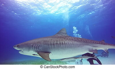 Big Bull Shark with divers underwater on sandy bottom of...