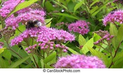 big bumblebee collects pollen on flowers - big bumblebee...