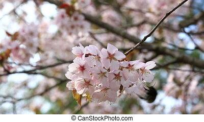 big bumblebee flies round a branch with flowers of an Oriental cherry sakura