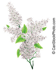 Big bunch of white lilac with leaves isolated