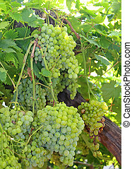 bunches of ripe white grapes on vineyard in autumn