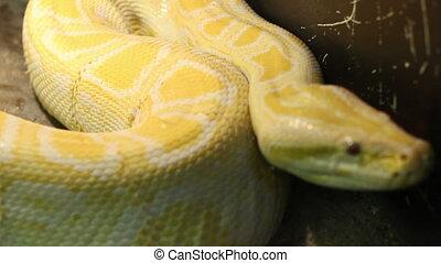 Big Burmese Python - Large albino burmese python moving. <br...