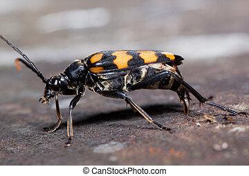 Big burying beetles is sitting on a tree stump. Nicrophorus vespillo.