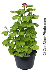 Big bush of a young geranium for sale