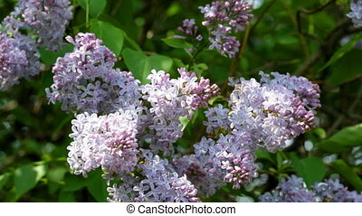 Big bush of the blossoming  lilac in the spring