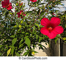 the Hibiscus Red