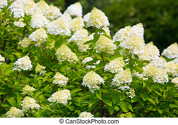 white blossoming hydrangea - big bush of white blossoming...