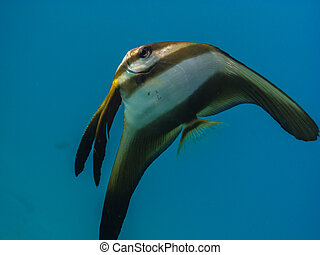 big butterfly fish in the sea