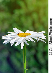 Big camomile flower blooming in the garden