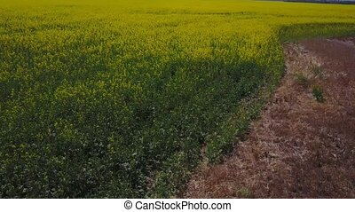 Big canola fields from above. - Flying above big blooming...