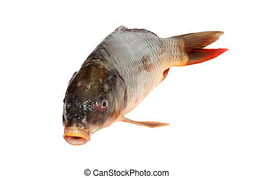 Big carp isolated on white background
