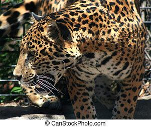 Big cat in zoo, leopard
