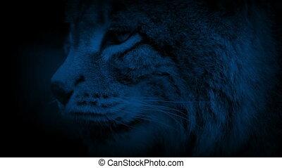Closeup of lynx in the dark