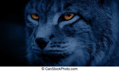 Big cat the Siberian lynx looking around at night with bright fiery eyes