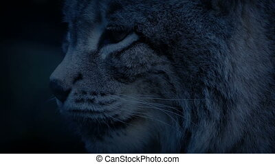 Lynx looking around in the forest at dusk