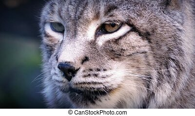 Thick coated big cat the siberian lynx looking around in the forest