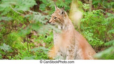 Handheld shot of alert lynx sitting on field. Carnivore animal is looking away. It is in forest.