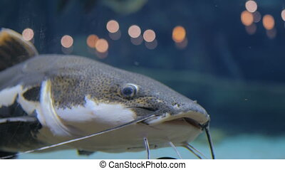 Big catfish. Phractocephalus hemioliopterus. Light bokeh on...