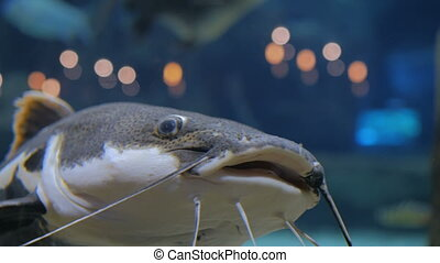 Big catfish. Phractocephalus hemioliopterus. Light bokeh on...