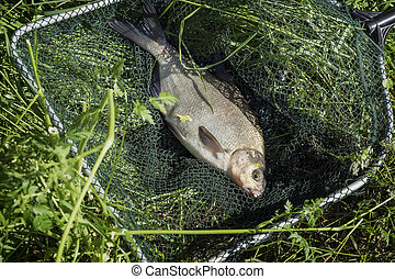 Big caught fish, bream in fisherman's nets in grass. Concept of successful fishing, luck, fortune, success, active rest, hobby, countryside relaks