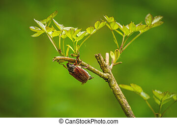 Big chafer beetle on the tree at spring