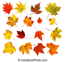 big collection of beautiful colourful autumn leaves isolated...