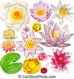 Big Collection of water lily isolated on white