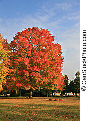 Big Colorful Maple Tree under Blue Sky