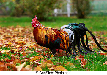 Big colorful rooster