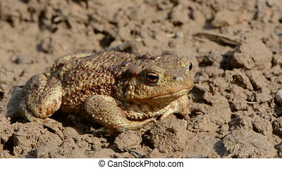 big common toad (Bufo bufo)